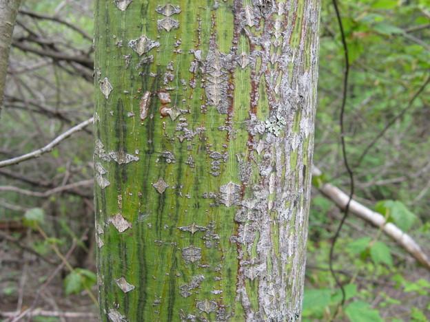 ウリハダカエデの樹皮 ウリに似ている IMG_0105