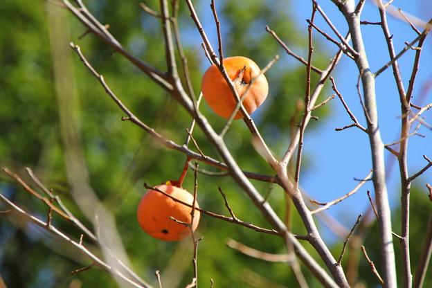 里山民家 柿