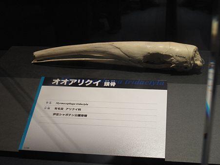 上野大哺乳類展 - オオアリクイの頭骨