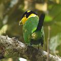 Photos: オナガヒロハシ(Long-tailed Broadbill) P1070141_R