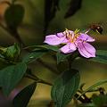 Photos: 名も知らぬ花(野牡丹とわかりました) P1080298_R