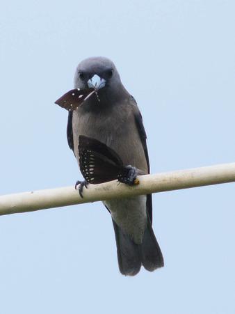 ハイイロモリツバメ(Ashy Wood-swallow) P1140213_R