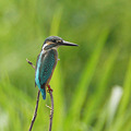 Photos: カワセミ(Common Kingfisher) P1230641_R