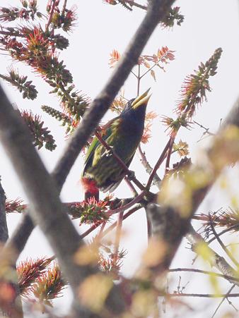 オオゴシキドリ(Great Barbet) P1240199_R3