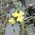 Photos: Lindenbergia grandiflora