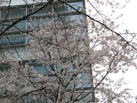 2010.03.28 秋葉原 桜(2/3)