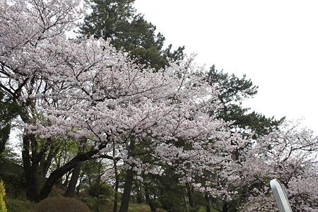 2010.04.11 多摩川 桜