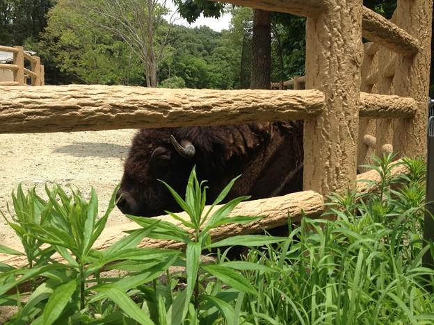 東山動植物園_49:アメリカバイソン