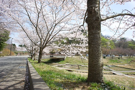 Cherry_blossom04172011nex5