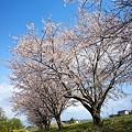 Cherry_blossom04252011nex5