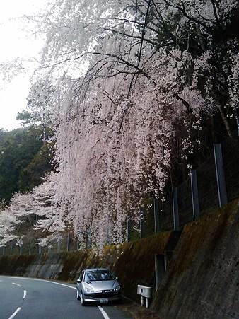 徳島 神山町のしだれ桜