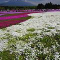 富士芝桜まつり2010