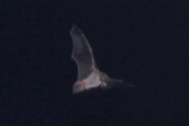 闇夜のコウモリ