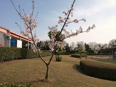 リトルワールドの桜その5
