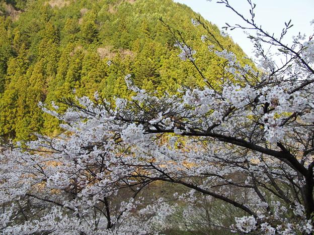 P4160269 中山七里の桜その2