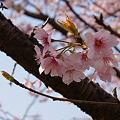 Photos: 桜(サクラ)