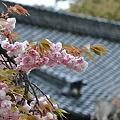 写真: 雨と八重桜