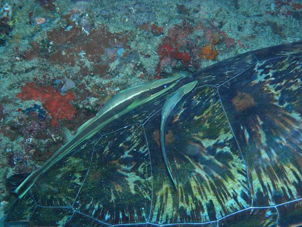 アオウミガメ 2