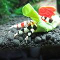 Photos: 20140701 60cmエビ水槽のスクマイキの食い付き