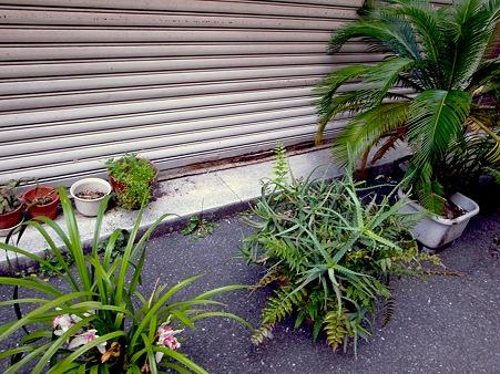 銀座にて。シャッター前に並ぶ植物