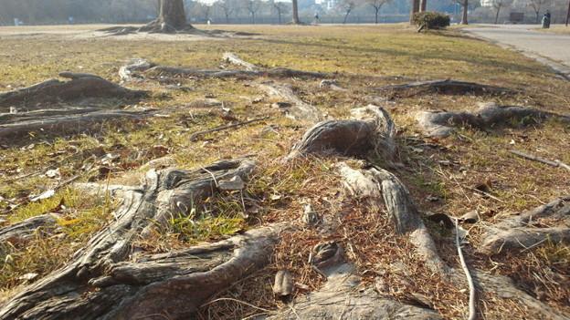 地を這う木