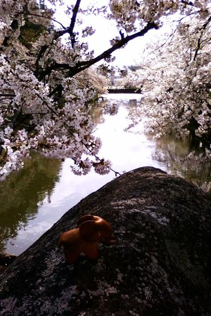 Photos: 松ヶ岬公園のお堀の桜