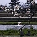 Photos: 鴨川、桜まみれ08