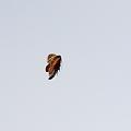 写真: アブラゼミの飛翔