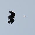 写真: 蝉を狙うハシブトガラス