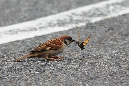 蝉を獲るスズメさん