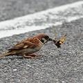 写真: 蝉を獲るスズメさん