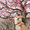 柴犬オフ会2011(大阪城公園・梅林)