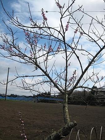桃の花 ヽ(`・ω・´)ゝ