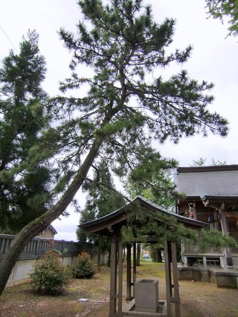 一方の松の木
