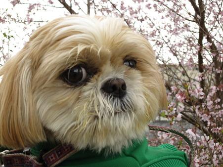 くるみと桜1