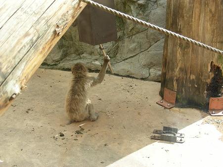 ガラガラを鳴らす小猿