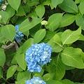 Photos: 紺色の紫陽花