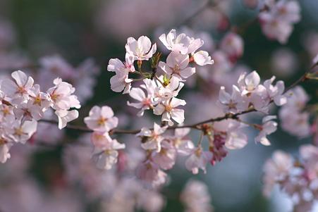 上野公園 早咲きの枝振り