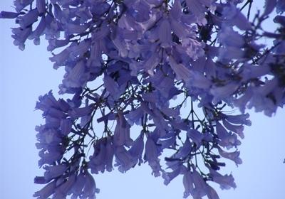 ハラカンダの花