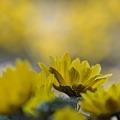 Photos: 幸福の黄色い○○○○