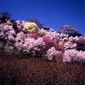 花見山・花の競演