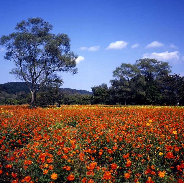 Photos: 彩りのコスモス畑