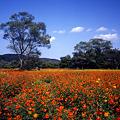 彩りのコスモス畑