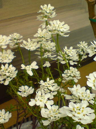 "Evergreen Candytuft ""Bridal Bouquet"""