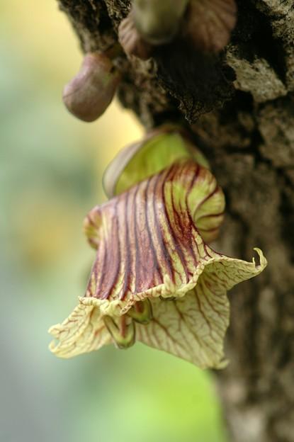 ヒョウタンノキ(瓢箪の木)