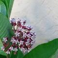 Photos: Common Milkweed 6-24-12