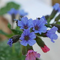 Pulmonaria by the Fence