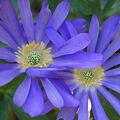 Photos: Windflowers 4-29-09