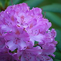 Photos: Rhododendron