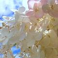 写真: Tree Hydrangea 8-26-10